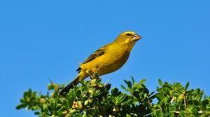 teneriffa-kanarienvogel-wild