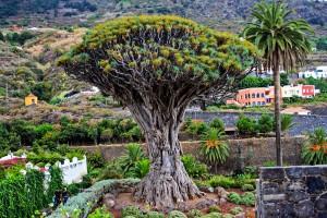 teneriffa-drachenbaum-3